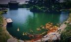 Koi at Anapji Pond